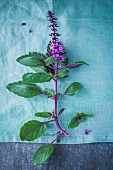 Basil with purple flowers