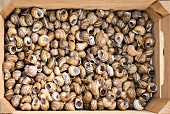 A large number of empty snail shells in a wooden crate (seen from above)