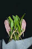 A person holding freshly harvested wild garlic in their hands