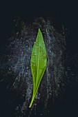 A wild garlic leaf on a black surface