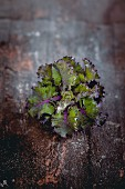 A flower sprout (a cross between a Brussels sprout and kale)