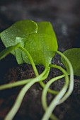 Purslane (close-up)