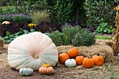 Various pumpkins arranged in garden