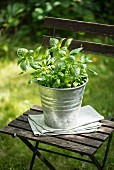 Basil in a metal flowerpot on a wooden stool in the garden