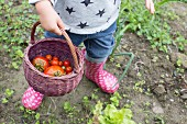 A child carrying a basket of freshly picked tomatoes