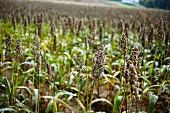 A millet field