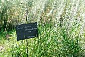 Feld mit Wermutkraut, Forcalquier, Frankreich