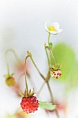 Wild strawberries with flowers and fruit (close-up)