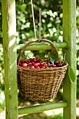 Freshly picked cherries in a basket on a green ladder