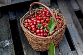 A basket of freshly picked cherries