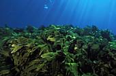 Kelp Habitat