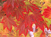 Frost Covered Maple Leaves