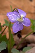 Missouri Violet