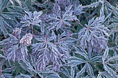 Frost on Japanese Maple