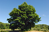 Maple Tree in Summer
