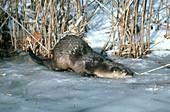 River Otter Sliding on Ice