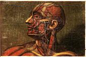 Anatomie Generale Des Visceres