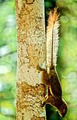 Plantain Squirrel,Malaysia