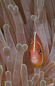 Pink Anemonefish