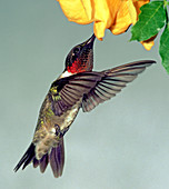 Ruby-throated Hummingbird male at flower