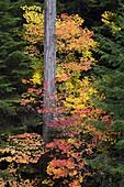 Vine Maple In Fall