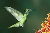 Magnificent Hummingbird hovering