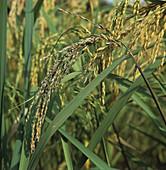 Sheath rot in rice