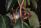 Greater Dwarf Lemur