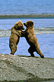 Grizzly Bears (Ursus arctos) playing
