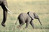 Elephant calf (Loxodonta africana)