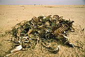 Cow carcasses in drought,Sahel,1973