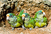 Peach-fronted Parrot fledglings