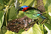 Red-necked Tanager at nest