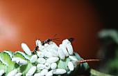 Parasitic Braconid Wasps Emerging