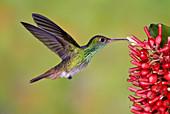Rufous-tailed Hummingbird at flower-Ecuad