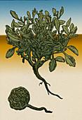 The Resurrection plant