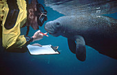 Marine Biologist with Manatee
