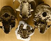 Paranthropus Palate Comparison