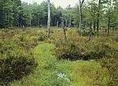 Big Inlet Swamp,Pennsylvania