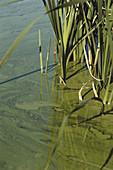Algal Bloom from Runoff