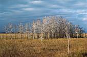 Baldcypress Hammock in Winter,USA