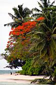 Flamboyant Tree,the Seychelles