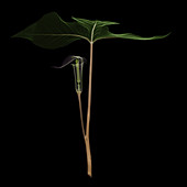 X-ray of Jack-in-the-pulpit