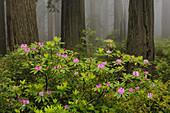 Rhododendron in Del Norte State Park,CA