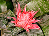 Bromeliad Flower Aechmea