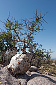Baja Elephant Tree