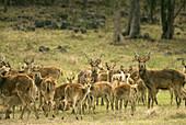 Java Deer,Mauritius