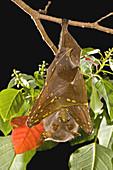 Eastern tubenosed bat