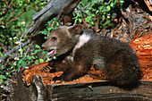 Bear Cub Playing