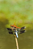 Dragonflies fighting over a perch
